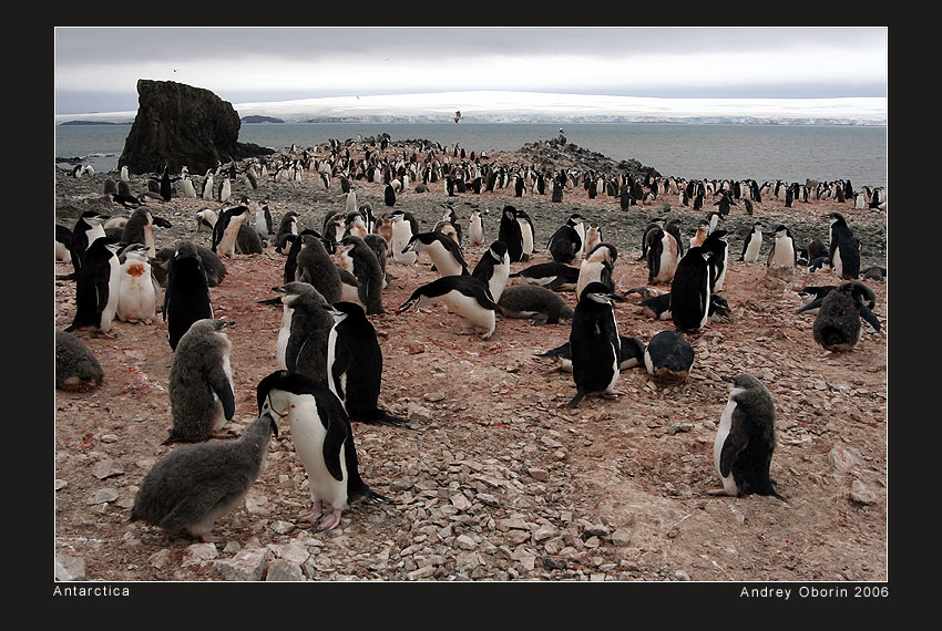 landscape with penguins | shore, animals, sea, snow, penguins