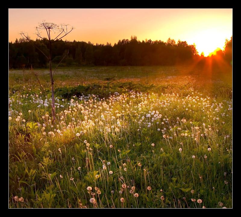 dandelion-dandelion)))   sun, field, flowers, evening