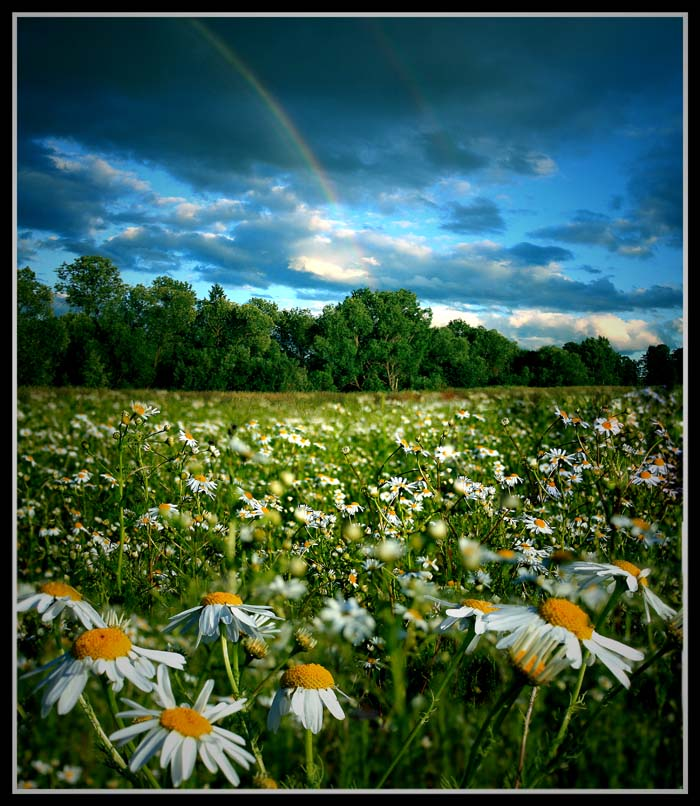 iridescent camomiles. | flowers, clouds, field, rainbow