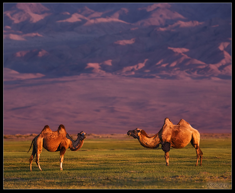 landscape with camels   mountains, animals, field
