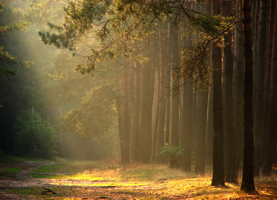coniferous forest | pine, light, pathway, forest