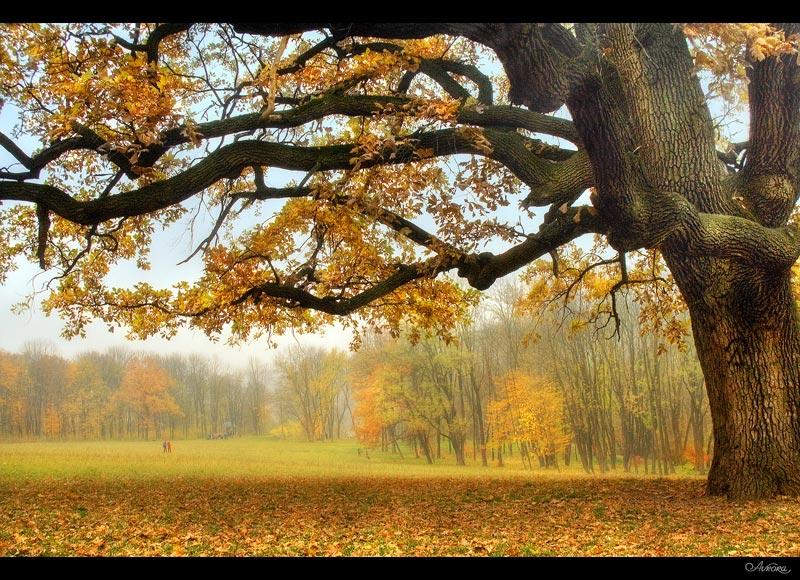 under branches of fantastic oak | oak, autumn, park, mist