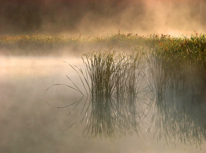 River thicket | reflection, morning, fog, bulrush, river