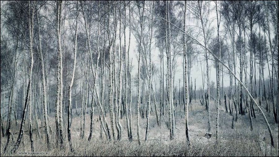 birch landscape | infrared, grass, forest