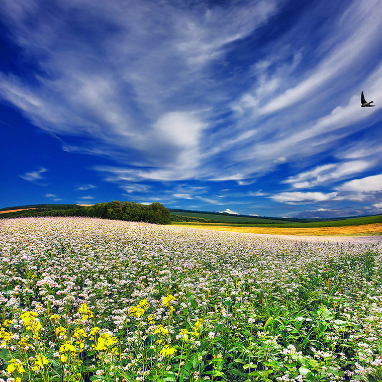 Buckwheat field | green, summer, flowers, field, clouds, panorama, sky