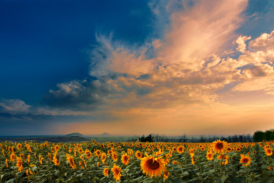 August evening | sunflower, sky, flowers, field