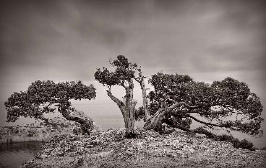 Lonely pine | tree, black and white, rendering, cliff, pine