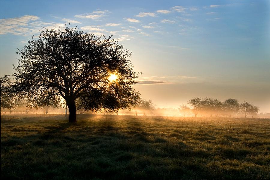 Apple garden | field, garden, tree, mist, sun