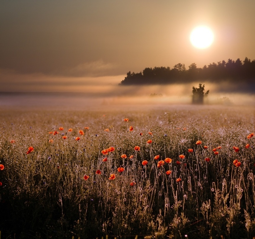 To the sun | flowers, hdr, mist, sun, field, poppies