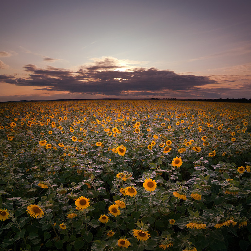 In sunflowers (part 2) | sky, panorama, field, flowers