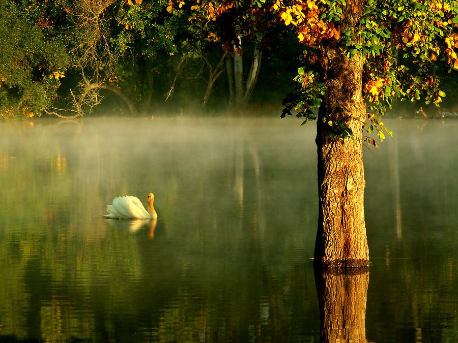 Swan | haze, animals, lake, reflection