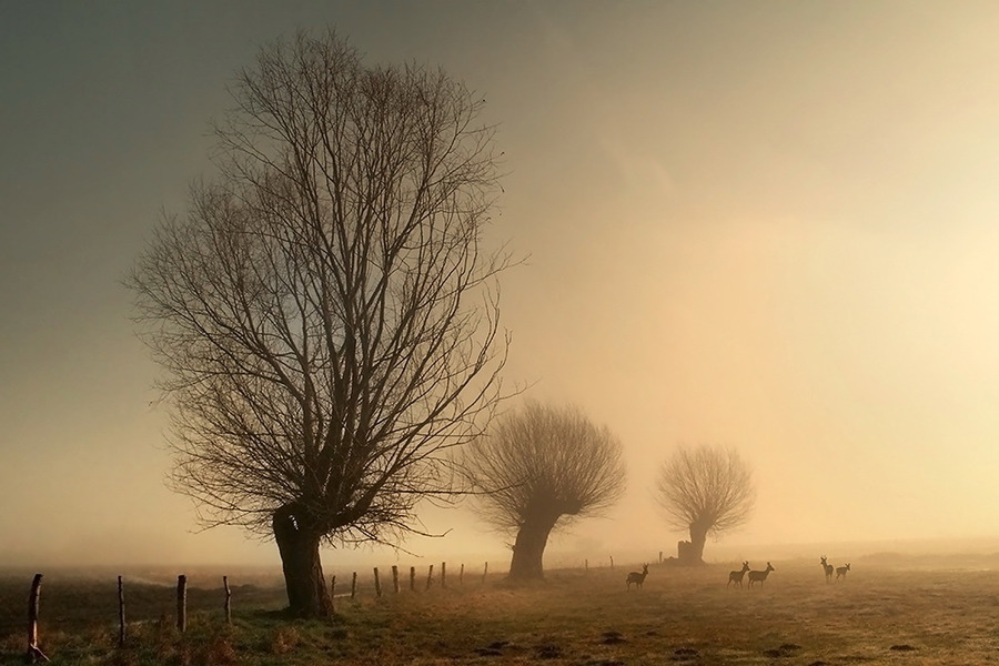 White Willows | trees, animals, field, silhouette, fog
