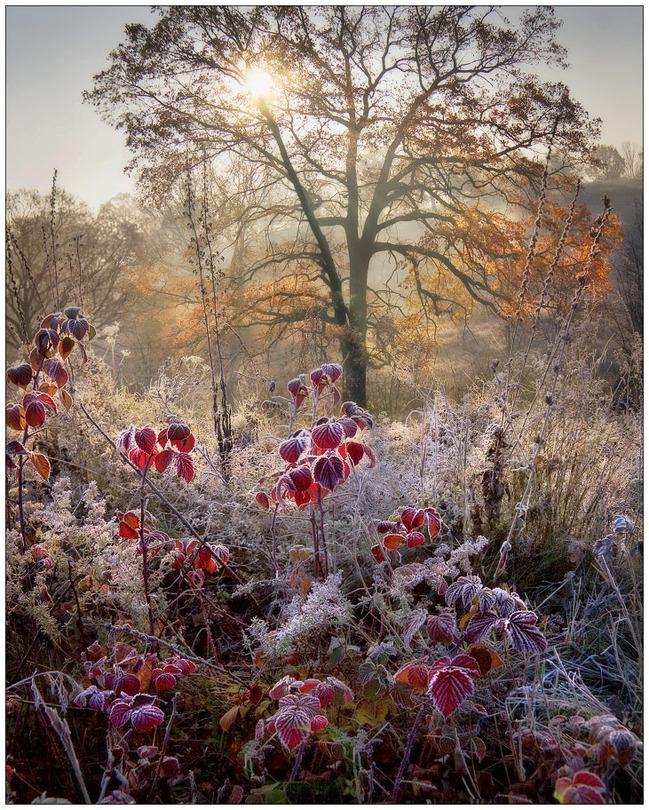 Hoarfrost on raspberry bushes | tree, hoarfrost, sun