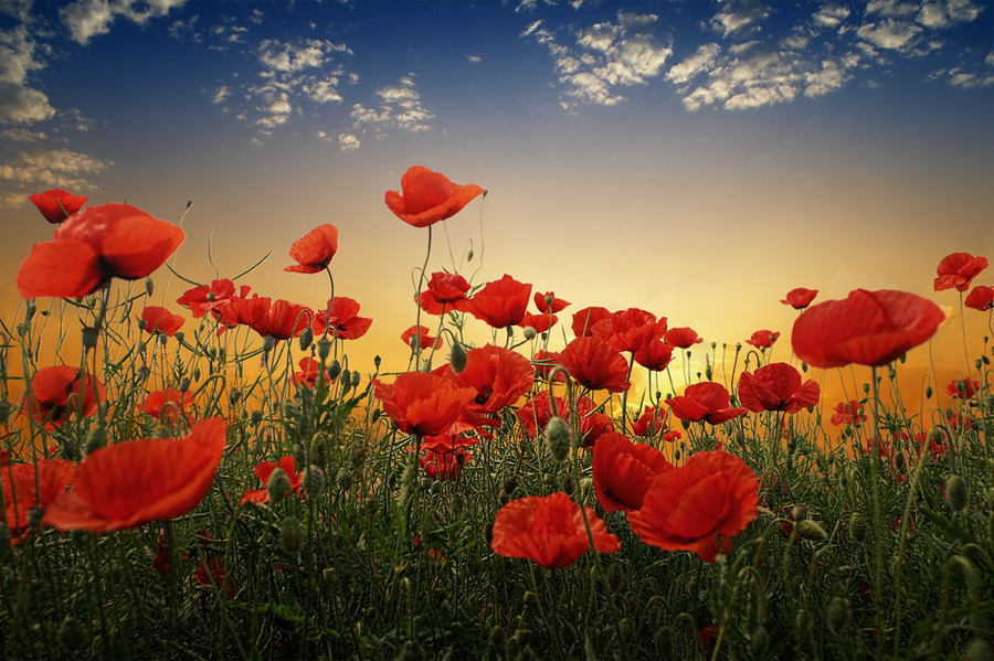 Red poppies | flowers, field