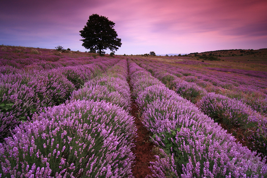 Lavender season | flowers, field, sunset