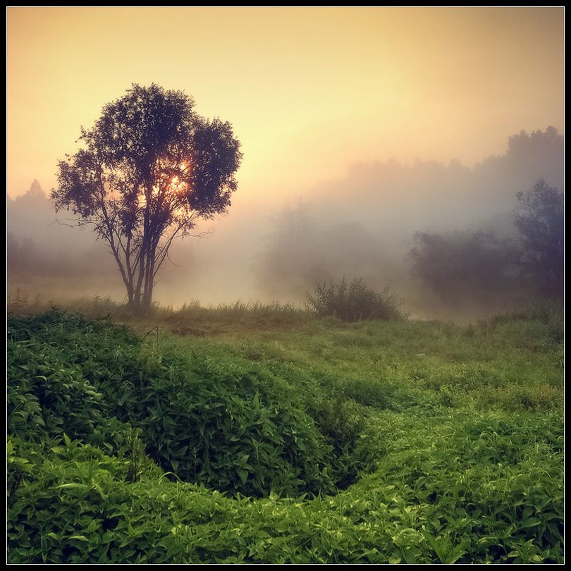 Fog and the green | dawn, silhouette, fog