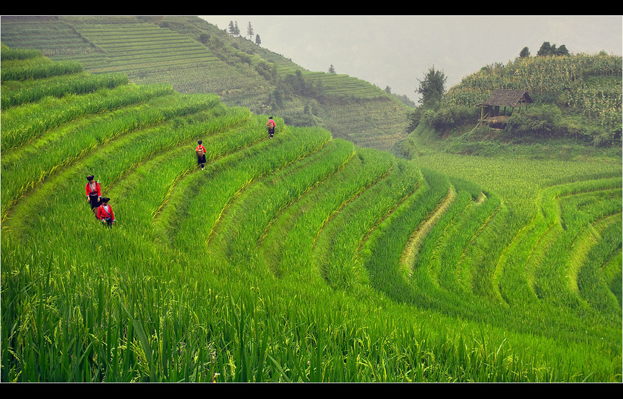 Time to pick the rice | people, hills