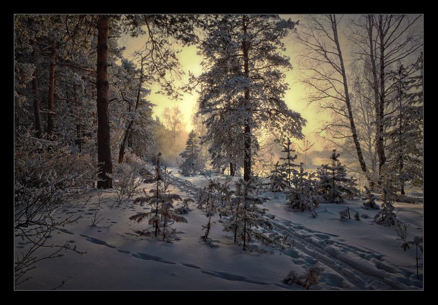 Pines in snow | winter, snow, pine