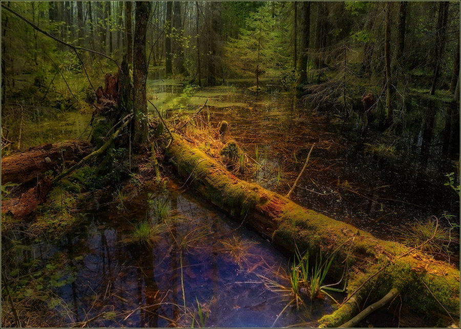 Forest swamp | swamp, water, forest, reflection