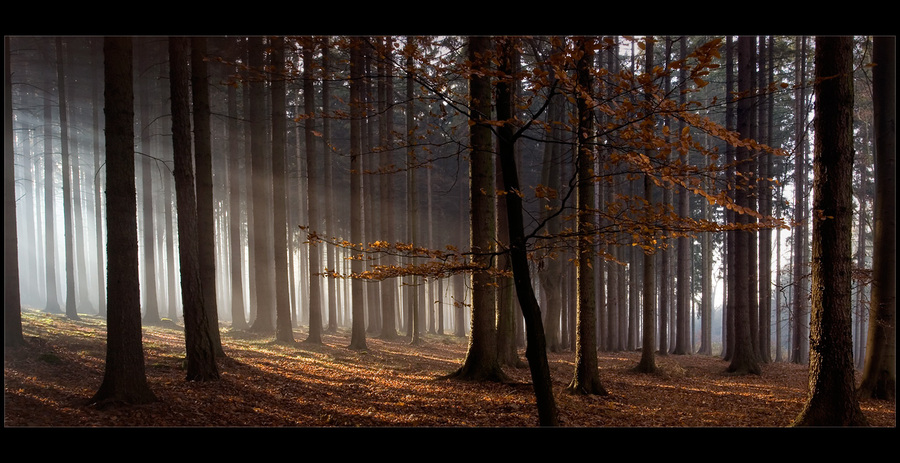 Morning forest | trees, forest, beams, morning