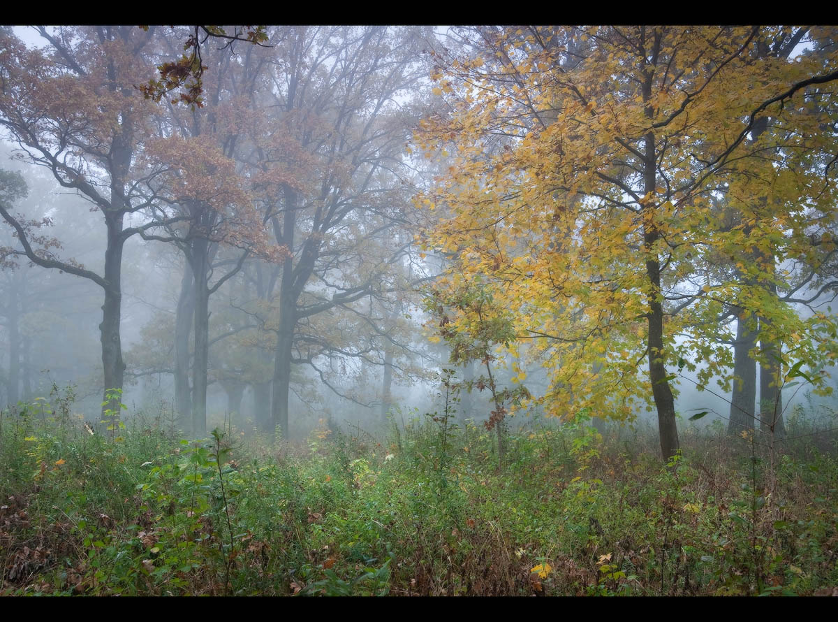 Autumn forest in fog | landscape, nature, outdoor, forest, trees, grass, fog, leaves, golden, autumn