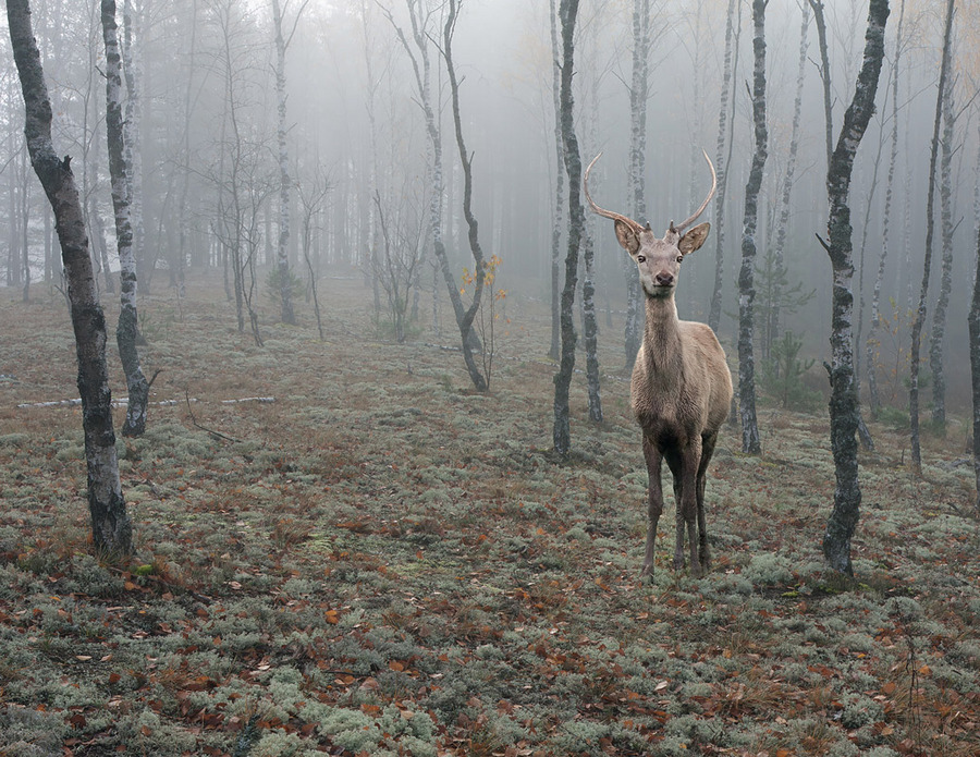 Fairy-tale deer | trees, mist, animals, forest