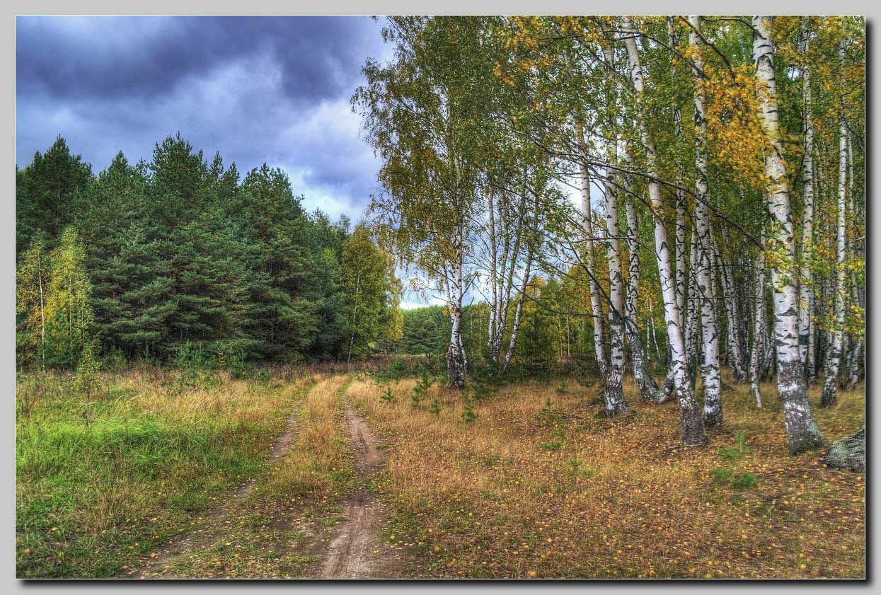 Path in the birch wood | path, birch, wood, spruce