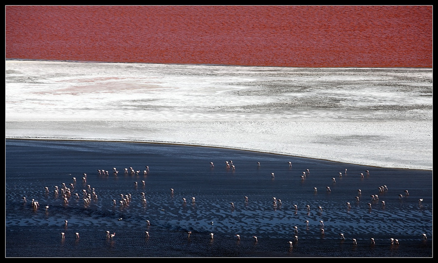 Tri-color ... Flamingo on the blue | water, winter