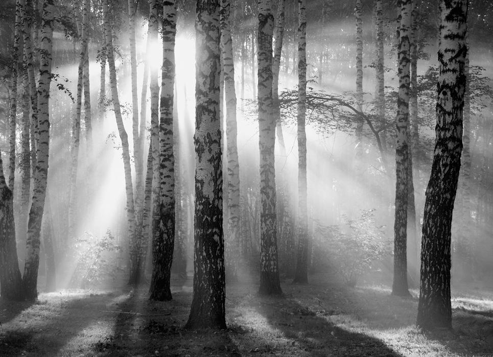 Sunbeam penetrates birchwood | sunbeam, birchwood, black and white, bushes