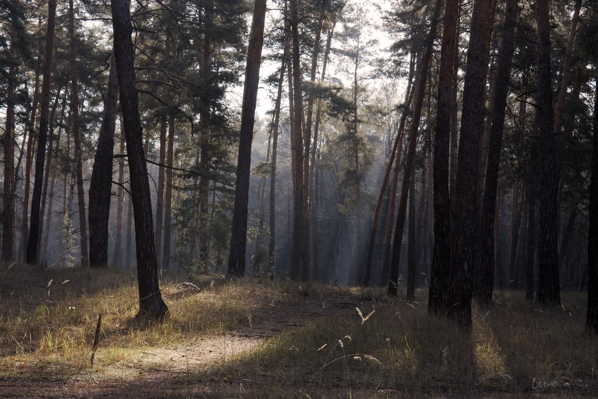 Morning in the pine forest   landscape, forest, November, pines, sunshine, walk, blade, sky, tall, Ukraine