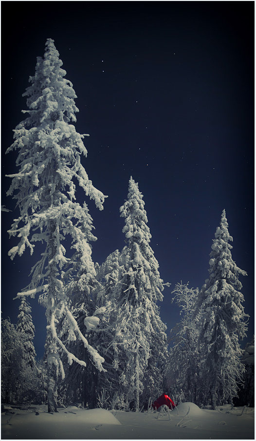Frosen spruces | spruce, ice, night, frost