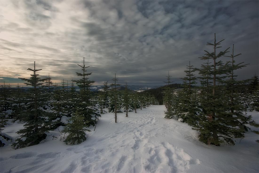 Newborn spruces   spruce, snow, winter, new year tree