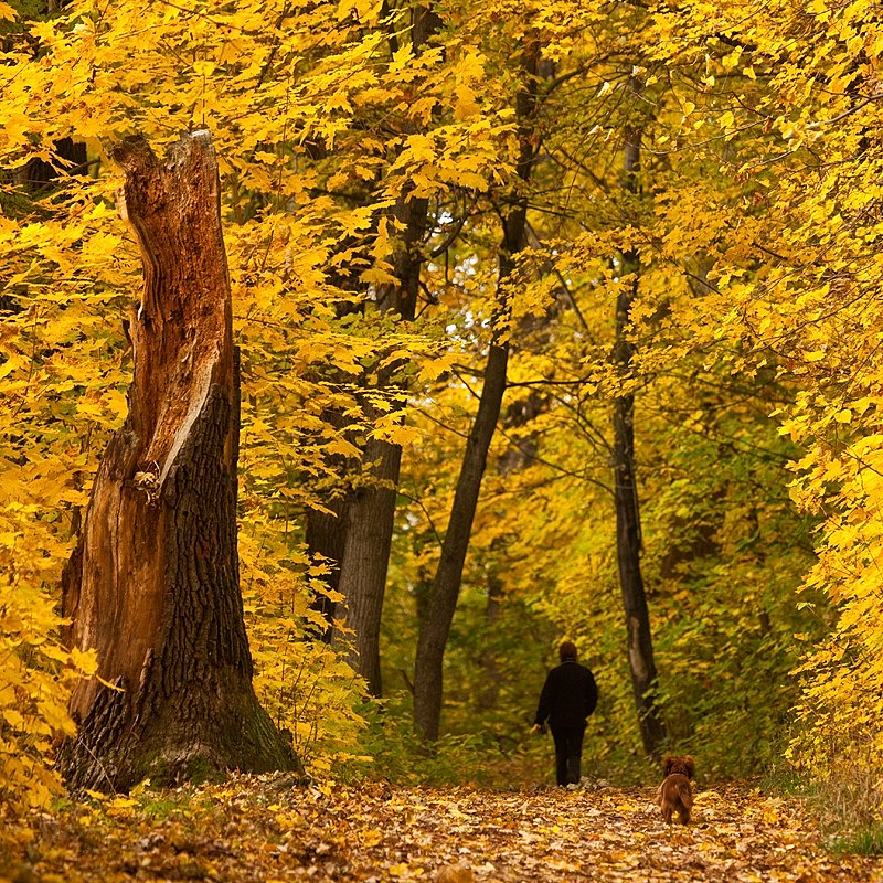 A Walk in an autumn forest | nature, autumn, forest, golden, woman, little, dog, trees, leaves, byway