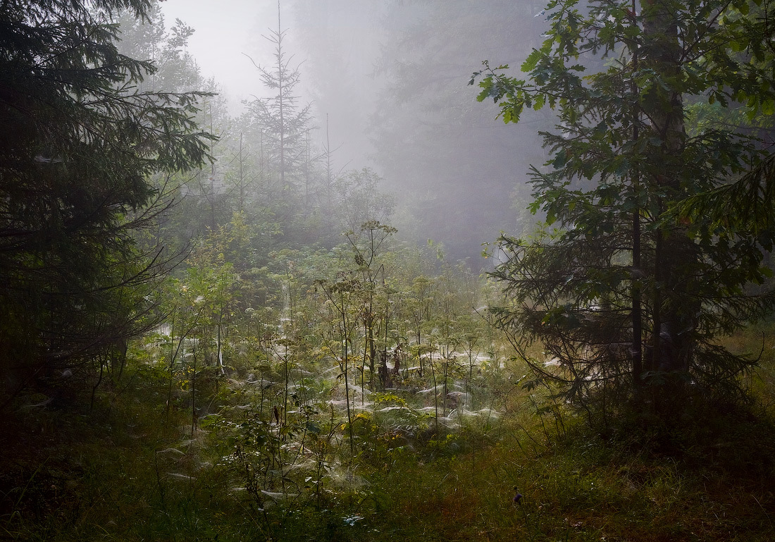 mist in the pine wood  | mist, pine wood, spruce, haze