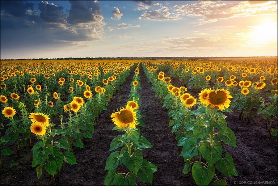 Sunflowers | sunflower, skyline, dawn, field