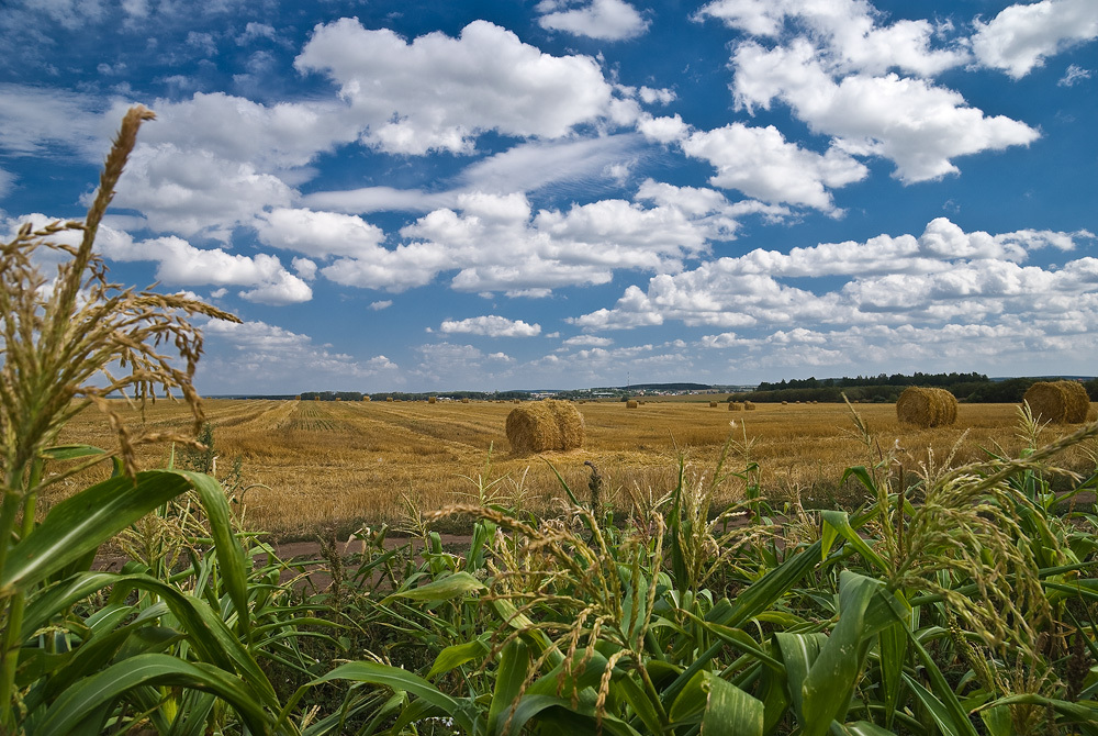 Cornfield | Landscape photos