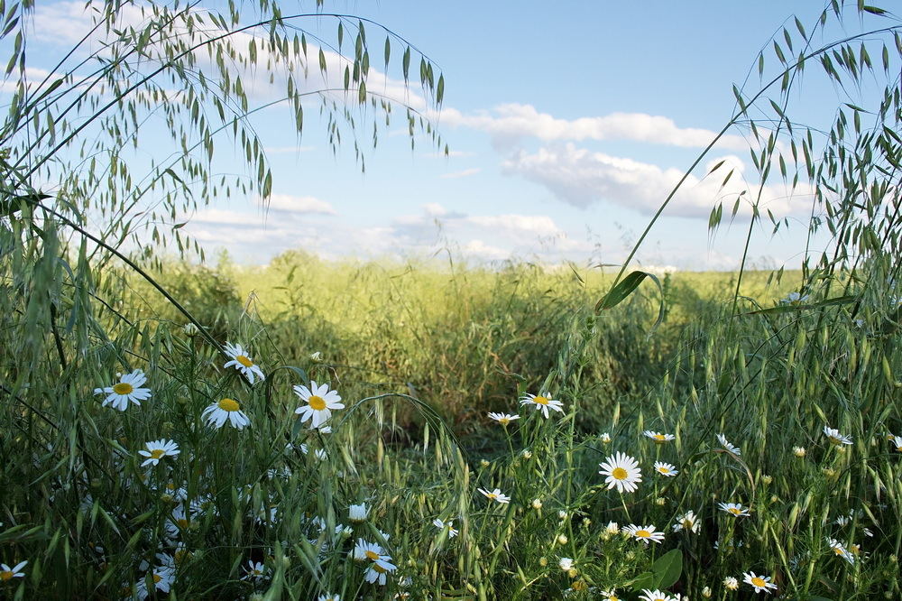 Summer meadow | meadow, summer, camomile, grass