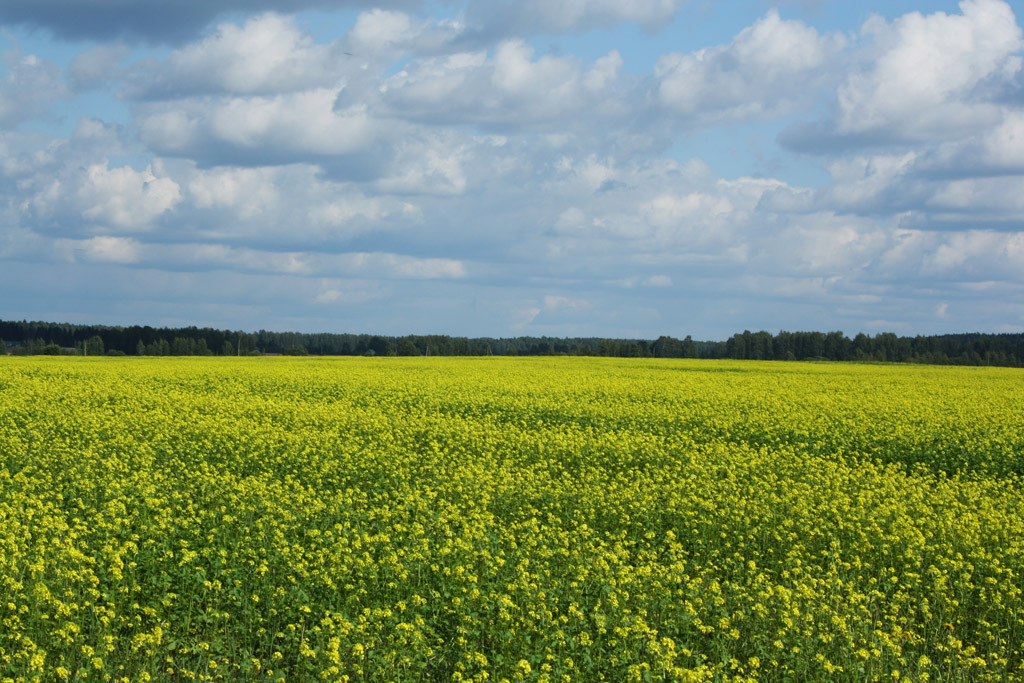 Field with yellow flowers | landscape, summer, sky, clouds, forest, field, flowers, yellow, skyline, sunny