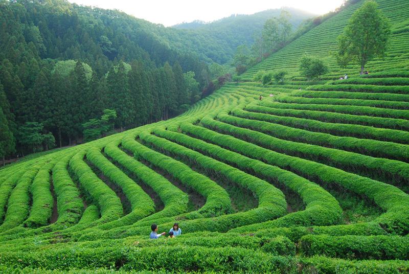 Tea garden | tea garden, hill, sky, summer