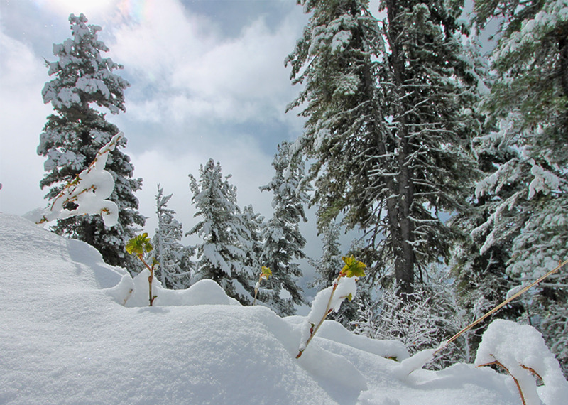 Winter in the mountains | spruce, winter, snow, hillside