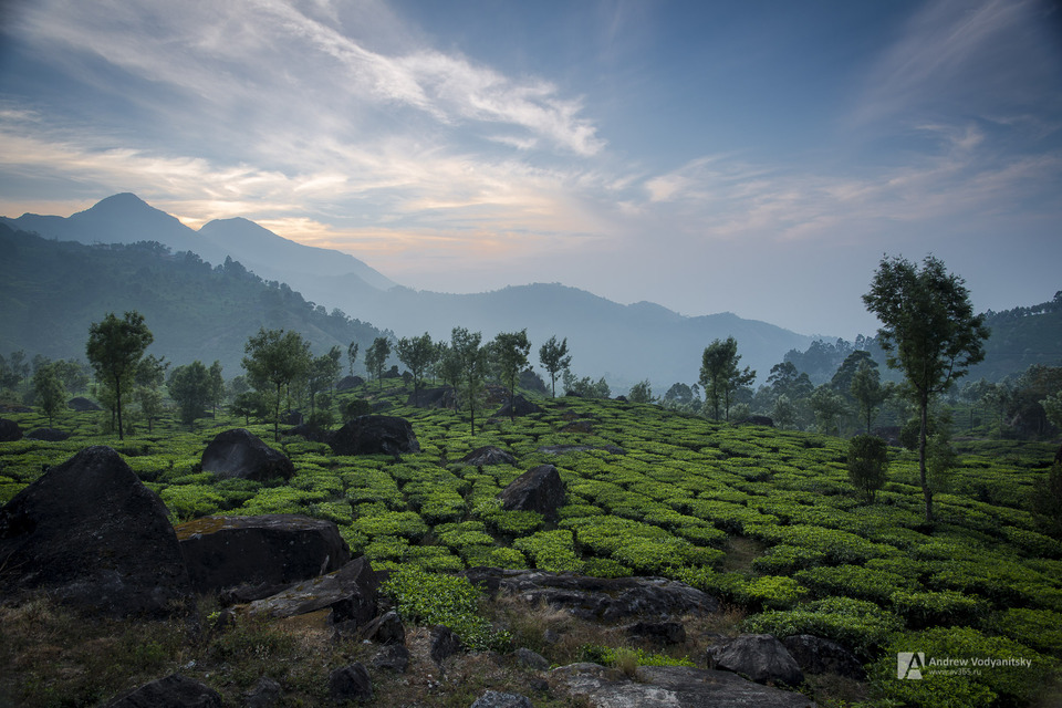 Tea plantation in Munnar | india, kerala, munnar, tea, mountain, clouds, stone, sunrise, tree, plants