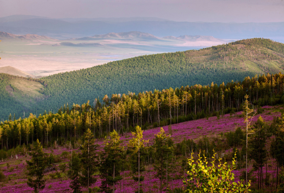 The Sayan Mountains | landscape, nature, outdoor, rose-bay, trees, sunny, flowers, green, Sayan Mountains, skyline