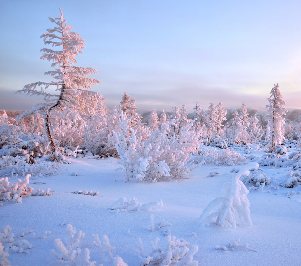 Frosen spruces of the country | spruce, countryside, snow, frost