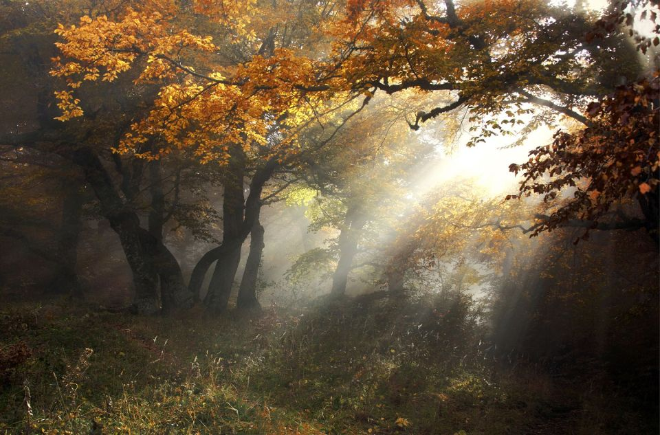 Sunshine in the golden forest | landscape, nature, outdoor, sunshine, trees, grass, autumn, fog, golden , leaves