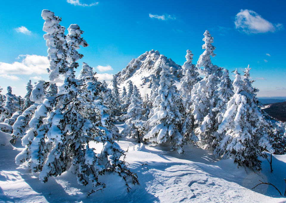 Spruces covered with snow | spruce, winter, snow, sky